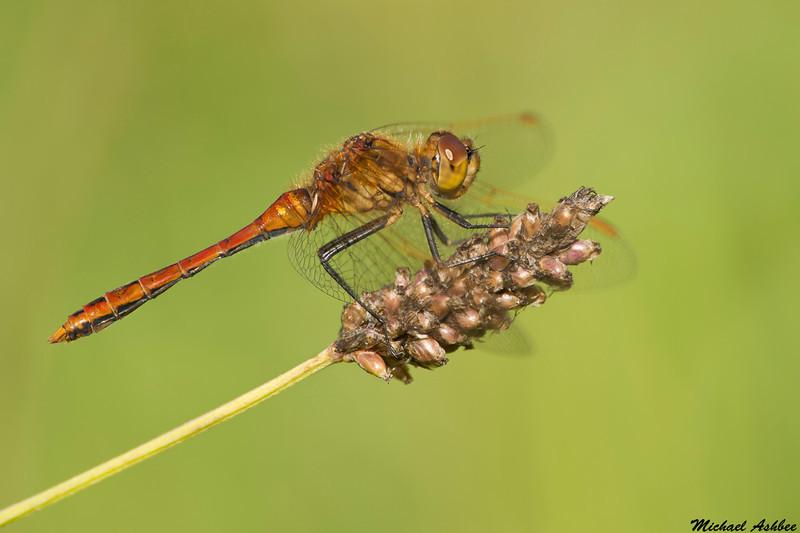 Saffron-winged Meadowhawk,Lake Cowichan,B.C.