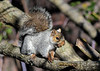 """<div class=""""jaDesc""""> <h4> Gray Squirrel with Acorn - November 7, 2018</h4> <p> A Gray Squirrel was collecting acorns for the winter from a large Oak Tree.  Lima, PA</p> </div>"""