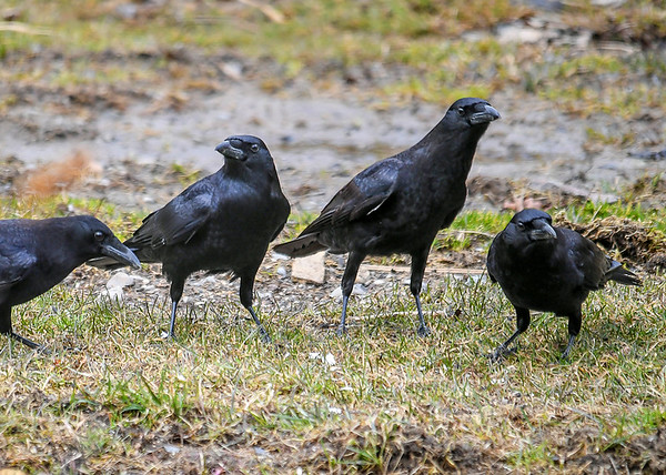 """<div class=""""jaDesc""""> <h4>Crow Family - March 18 2020</h4> <p>Mom, Dad, and 2 youngsters.</p>  </div>"""