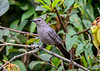 """<div class=""""jaDesc""""> <h4>Male Catbird Arrives at Feeder Area - August 19, 2018</h4> <p>This is Dad Catbird who is keeping an eye on two youngsters.</p> </div>"""