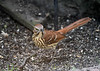 "<div class=""jaDesc""> <h4>Brown Thrasher - Front View - September 8, 2019</h4> <p> </p> </div>"