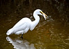 "<div class=""jaDesc""> <h4>Great Egret Showing Off BIG Fish - October 23, 2017</h4> <p>The Great Egrets like to walk around with their catch before they eat it.</p> </div>"