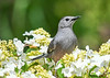 "<div class=""jaDesc""> <h4>Catbird Meowing - June 4, 2019</h4> <p></p></div>"