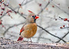 """<div class=""""jaDesc""""> <h4>Immature Female Cardinal on Feeder Log - January 7, 2019</h4> <p>She still has a little way to go for her full adult feathers, but looking very pretty;  last year's female off-spring. </p> </div>"""