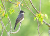 "<div class=""jaDesc""> <h4>Male Kingbird  in Serviceberry Tree - June 13, 2017</h4> <p>Kingbirds are fly catchers, so they won't be eating the serviceberries when they ripen.  This guy was rotating his head almost 360 degrees looking for bugs.</p> </div>"