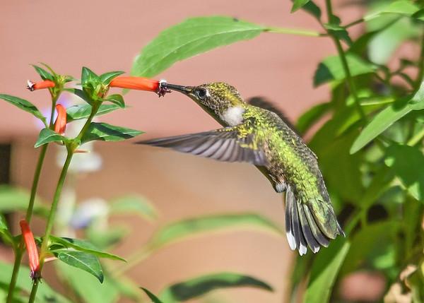 "<div class=""jaDesc""> <h4>Female Hummingbird at Cigar Plant - September 22, 2019 </h4> <p> </p> </div>"