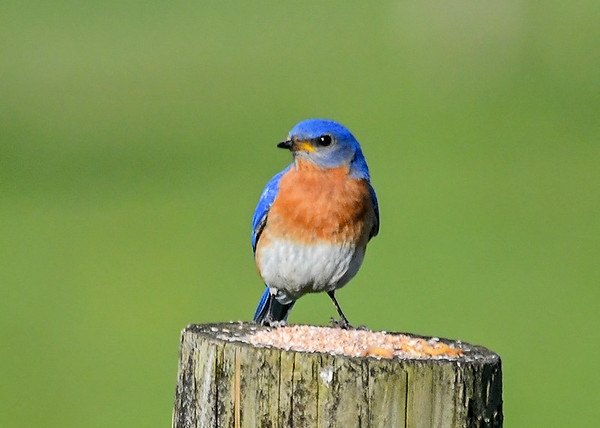 """<div class=""""jaDesc""""> <h4>Male Bluebird Arrives at Mealworm Post - May 19, 2020</h4> <p></p> </div>"""