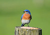 "<div class=""jaDesc""> <h4>Male Bluebird Arrives at Mealworm Post - May 19, 2020</h4> <p></p> </div>"