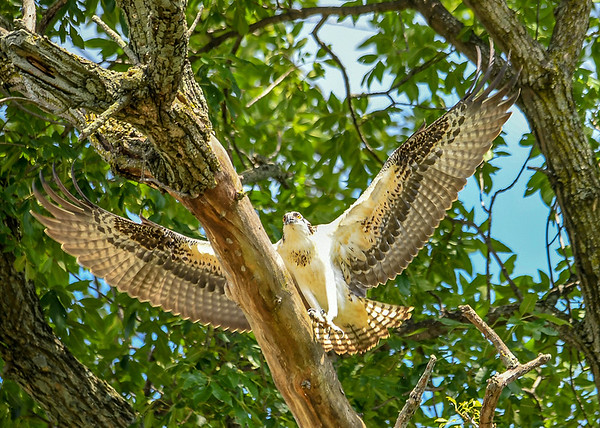"""<div class=""""jaDesc""""> <h4>Juvenile Osprey Starting to Fall - August 8, 2019 </h4> <p>He starts slipping off the side of the branch, spreading his wings to break the fall. </p> </div>"""