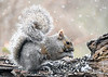 """<div class=""""jaDesc""""> <h4> Gray Squirrel in Afternoon Snow Storm - April 2, 2020</h4> <p> A Gray Squirrel stopped in for a snack during a snowfall.</p> </div>"""