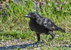 """<div class=""""jaDesc""""> <h4>Juvenile Crow Close-up - July 2, 2018</h4> <p>This was the first time the adult Crows brought their two youngsters in for breakfast.  They have been hanging out in the trees across the road since they left the nest.</p>  </div>"""
