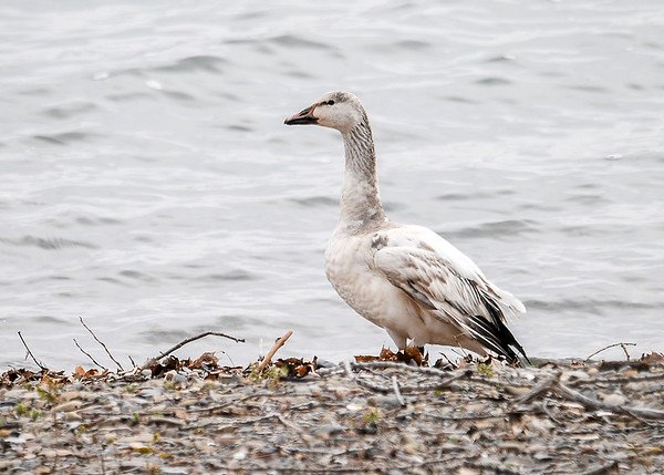 "<div class=""jaDesc""> <h4>Immature Snow Goose - March 30, 2017 </h4> <p>In a few months this immature bird will have a reddish-orange beak and bright white feathers.  The black on the wings is mostly hidden when they are not in flight.</p> </div>"