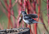 "<div class=""jaDesc""> <h4>Male Junco Flirting - April 9, 2017</h4> <p>What a difference from the snow 2 days ago.  This male Junco was fluttering his wings to get the attention of a female.</p> </div>"
