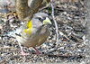 "<div class=""jaDesc""> <h4>Female Evening Grosbeak Munching on Seed - March 17, 2019</h4> <p></p> </div>"
