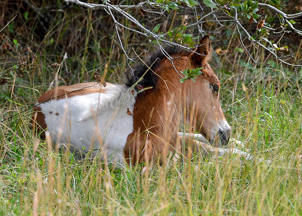 "<div class=""jaDesc""> <h4>Pinto Chincoteague Pony Foal Wakes Up - October 23, 2017</h4> <p>After a 10 minute nap, the foal was ready to get up and run to catch up to mom who was about 75 feet away.</p> </div>"