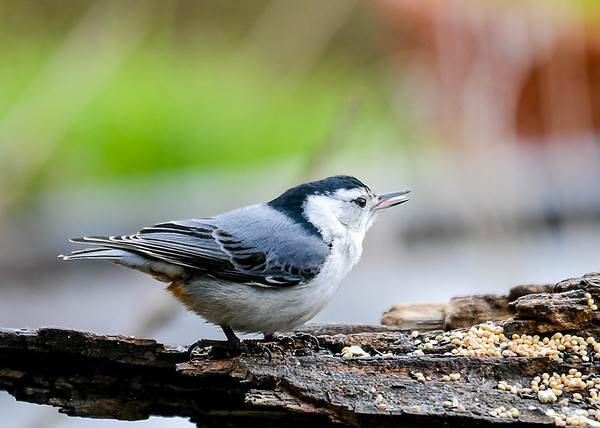 """<div class=""""jaDesc""""> <h4>White-breasted Nuthatch Tongue Showing - May 15, 2020 </h4> <p></p> </div>"""