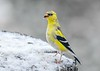 """<div class=""""jaDesc""""> <h4>Male Goldfinch Getting Brighter - April 5, 2019</h4> <p>The bright yellow is really popping out on our male Goldfinches.</p></div>"""