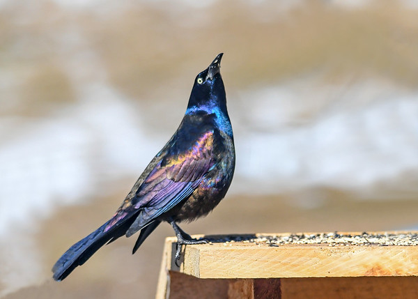 "<div class=""jaDesc""> <h4>Grackle - Head Even Higher - March 23, 2019</h4> <p>Higher is always better.</p></div>"