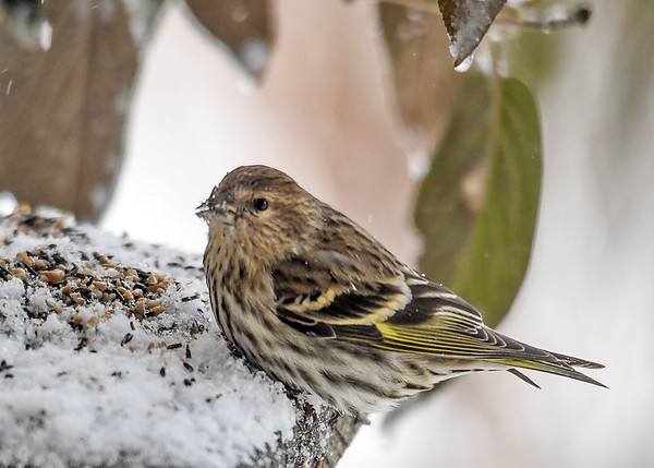"<div class=""jaDesc""> <h4>Pine Siskin at Sheltered Feeder - January 13, 2018</h4> <p>I put finch mix (thistle seed and sunflower chips) on a platform under our huge viburnum bush that blocks the wind.</p> </div>"
