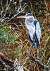 """<div class=""""jaDesc""""> <h4> Colorful Great Blue Heron on Branch - November 13, 2018 </h4> <p>This Great Blue Heron was resting on a perch by a stream at Chincoteague Wildlife Reserve, VA.</p> </div>"""