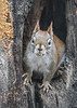 "<div class=""jaDesc""> <h4>Red Squirrel on Alert Ears Up - January 7, 2019 </h4> </div>"