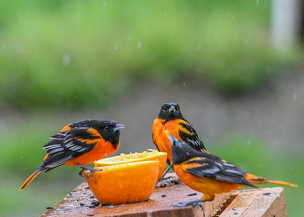 """<div class=""""jaDesc""""> <h4>3 Male Baltimore Orioles is 1 Too Many - May 13, 2019</h4> <p>Orioles on left takes exception to new arrival.</p></div>"""