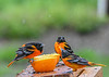 "<div class=""jaDesc""> <h4>3 Male Baltimore Orioles is 1 Too Many - May 13, 2019</h4> <p>Orioles on left takes exception to new arrival.</p></div>"
