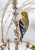 "<div class=""jaDesc""> <h4>Goldfinch on Lambs Ear Stalk - March 3, 2017</h4> <p>This male Goldfinch was pecking seeds out of a dried Lambs Ear stalk.</p></div>"