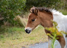 """<div class=""""jaDesc""""> <h4>Pinto Chincoteague Pony Foal - October 23, 2017</h4> <p> I was delighted to find a tri-colored pinto foal in a group of Chincoteague ponies.  This adorable filly was munching on weeds along the guardrail by the road.</p> </div>"""