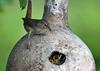 "<div class=""jaDesc""> <h4>Wren with Big Bug - June 23, 2018</h4> <p>Mother Wren is feeding three chicks in the gourd nest.</p> </div>"