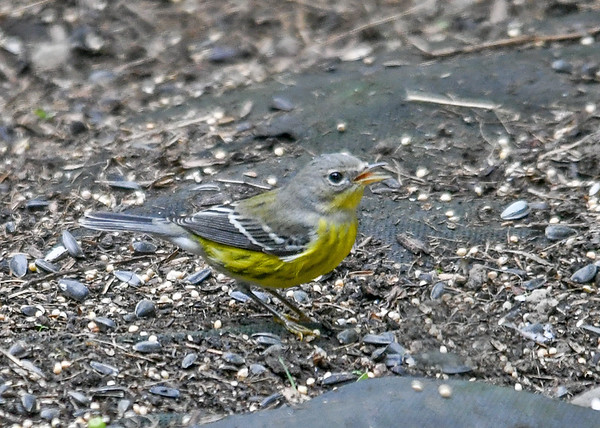 """<div class=""""jaDesc""""> <h4> Female Magnolia Warbler Under Bushes - September 14, 2019 </h4> <p>She does not go for any of the seed.</p></div>"""