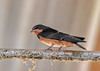 """<div class=""""jaDesc""""> <h4> Second Round of Baby Barn Swallows - August 16, 2018 </h4> <p>5 baby Barn Swallows left the nest today.  They were hanging out in the barn rafters and on the conduit for the lighting wires which is too high to dust.</p> </div>"""