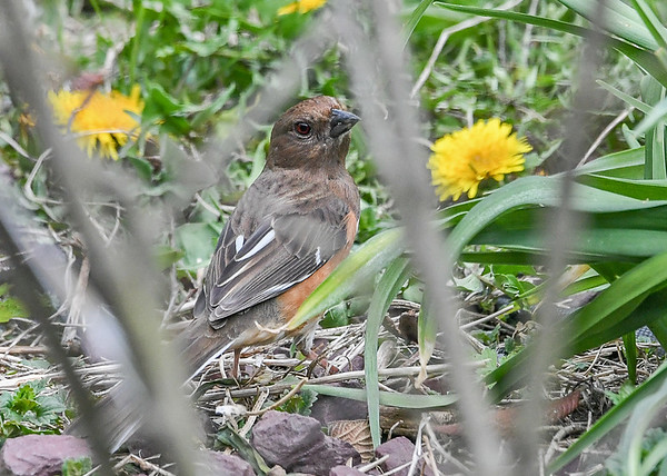 "<div class=""jaDesc""> <h4>Female Towhee Ground Feeding - April 27, 2021</h4> <p>Hopping around under the bushes.</p></div>"
