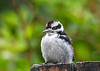 """<div class=""""jaDesc""""> <h4>Baby Male Hairy Woodpecker - June 6, 2018</h4> <p>This cute baby male Hairy Woodpecker is waiting for Mom to bring him some suet.</p></div>"""