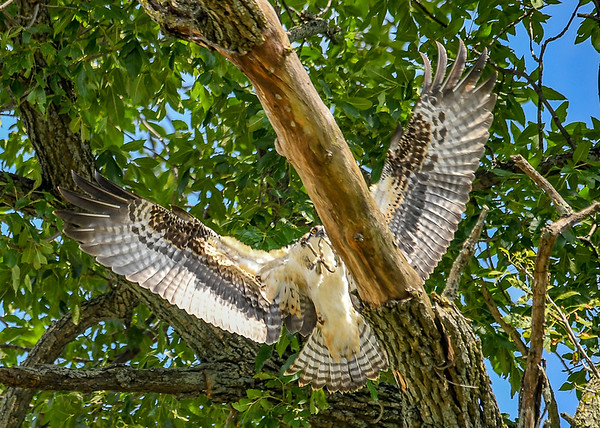 """<div class=""""jaDesc""""> <h4>Juvenile Osprey Ready to Land - August 8, 2019 </h4> <p>A juvenile Osprey approaches a landing spot in a tree at Stewart Park in Ithaca, NY. </p> </div>"""