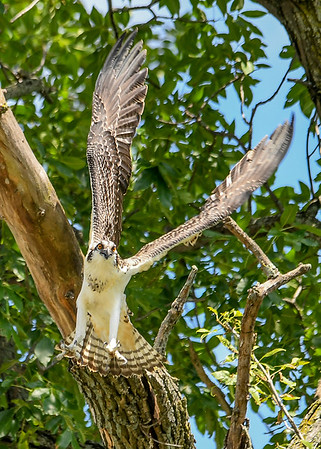 """<div class=""""jaDesc""""> <h4>Juvenile Osprey Wings Full Up - August 8, 2019 </h4> <p>He raises his wings in order to flap them down to catch his fall. </p> </div>"""