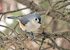 """<div class=""""jaDesc""""> <h4>Tufted Titmouse on Spruce Tree Branch - February 17, 2019 </h4> <p>A Tufted Titmouse has been doing his territory call across the road for a few weeks.  He finally paid a visit to our yard.</p></div>"""