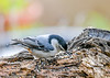 "<div class=""jaDesc""> <h4>White-breasted Nuthatch Grabbing Safflower Seed - May 15, 2020 </h4> <p></p> </div>"