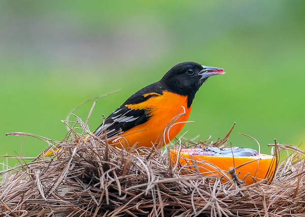 """<div class=""""jaDesc""""> <h4>Male Baltimore Oriole - Jelly in Beak - May 6, 2020</h4> <p>One of 4 male Orioles that arrived.</p> </div>"""