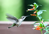 """<div class=""""jaDesc""""> <h4>Female Hummingbird at Cigar Plant - September 8, 2018 </h4> <p>She was revisiting these blossoms for nectar about ever 20 minutes.</p> </div>"""