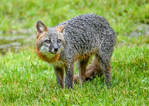 """<div class=""""jaDesc""""> <h4>Female Gray Fox in Afternoon Rain - June 16, 2019</h4> <p>Mother Gray Fox is scrounging for food during the day, eating leftover bird seed. She is nursing Kits in a nearby den.</p> </div>"""