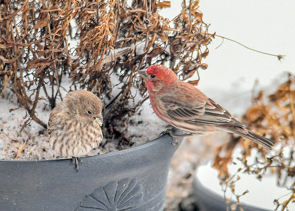 """<div class=""""jaDesc""""> <h4>Male and Female House Finch in Flower Pot  - January 18 2020</h4> <p></p> </div>"""