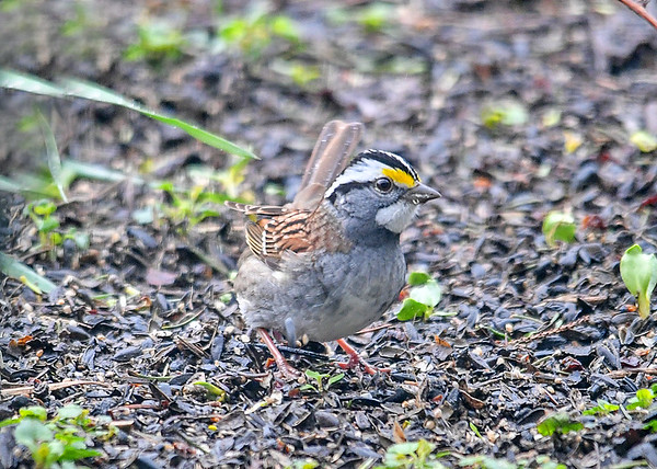 """<div class=""""jaDesc""""> <h4>White-throated Sparrow in a Quick Turn - April 29, 2019</h4> <p> </p></div>"""