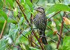 """<div class=""""jaDesc""""> <h4>Immature Female Red-winged Blackbird in Red-twig Dogwood - July 23, 2018</h4> <p>She is methodically exploring the entire bird feeding are, both front and back yards. </p></div>"""