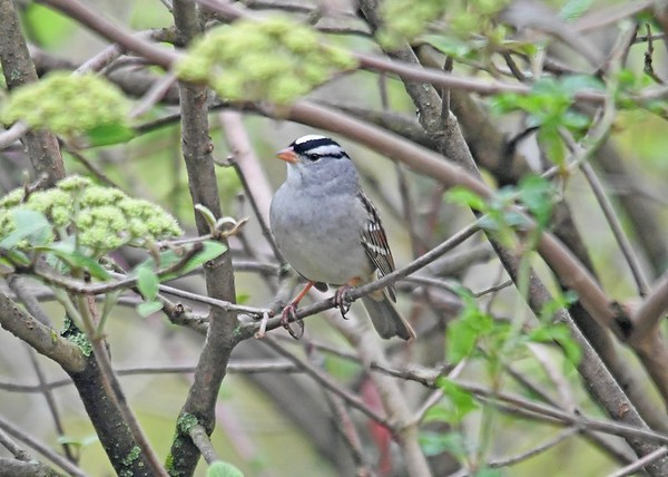 """<div class=""""jaDesc""""> <h4>White-Crowned Sparrow Perched in Viburnum Bush #1 - May 4, 2019</h4> <p></p></div>"""