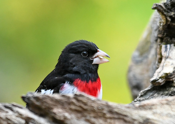 "<div class=""jaDesc""> <h4>Male Rose-Breasted Grosbeak Eating Seed - May 11, 2019</h4> <p></p></div>"
