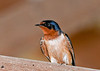 """<div class=""""jaDesc""""> <h4> Dad Barn Swallow Keeping Eye on Youngsters - July 17, 2020</h4> <p></p> </div>"""