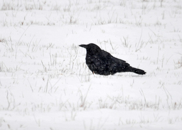 "<div class=""jaDesc""> <h4>Crow Dining on Tortilla Pieces - December 28, 2017</h4> <p>I cut up some stale tortillas and put them out for the Blue Jays this morning.  This Crow grabbed some pieces and flew down to one of our horse pasture to eat them in private.</p>  </div>"