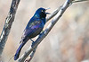 "<div class=""jaDesc""> <h4>Grackle - Calling for Mate - March 27, 2020</h4> <p>Love the iridescent colors.</p></div>"