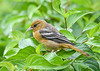 "<div class=""jaDesc""> <h4>Juvenile Female Baltimore Oriole Lands in Red Twig Dogwood Bush - August 23, 2019</h4> <p></p> </div>"